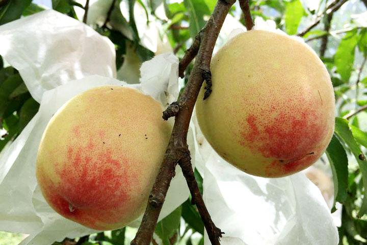 跟動物一起嘗「鮮」桃 還能做綠保
